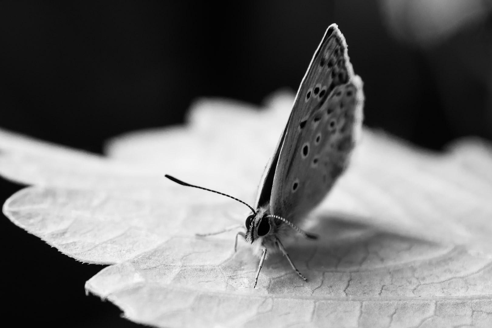 Geißklee-Bläuling (Plebejus argus, auch Argus-Bläuling genannt. Schmetterling des Jahres 2008