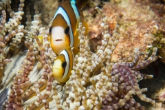 Common clownfish in anemone