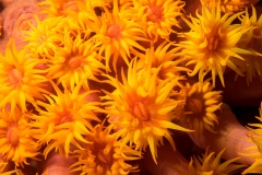 Sunflower coral