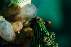 Nembrotha nudibranch
