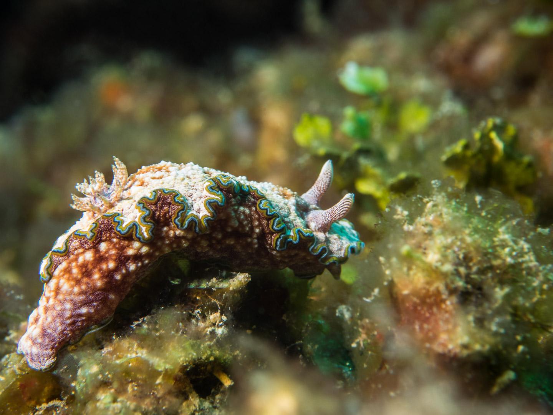 Glossodoris nudibranch