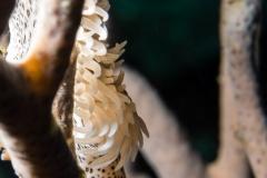 Leopard anemone